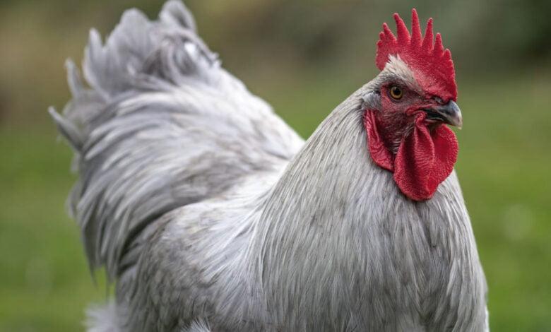 It's a chicken.