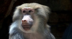 Get Your Stinking Paws Off Me: Baboons Raid Cape Town, South Africa