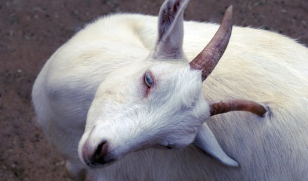 Utah Goat Man