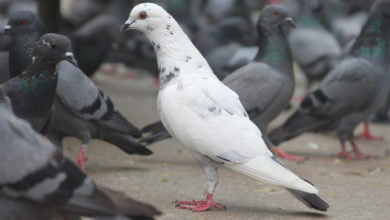 Photo of Vanishing Birds Baffle UK Pigeon Racers