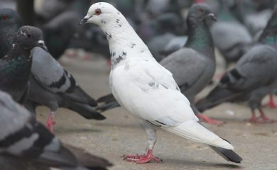 black and white pigeons