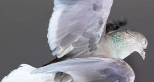 Pigeon of Doom