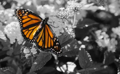 A monarch butterfly sitting on a flower