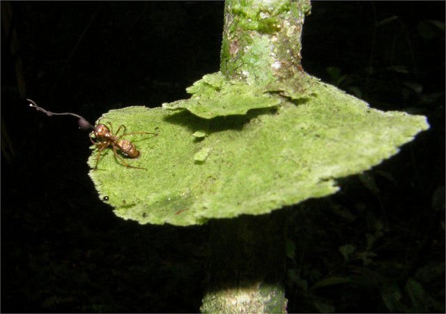 cordyceps-ant