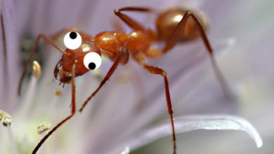 "Photo of They're Crazy, They're Ants: ""Crazy Ants"" Invade Southeast U.S."