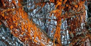 Monterey Cypress Algae