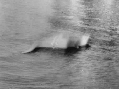 A blurry object in the water with what seems to be a tail