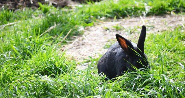 Giant Black Rabbits Wander Hy-Brasil