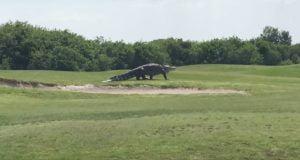 Giant Alligator In Florida