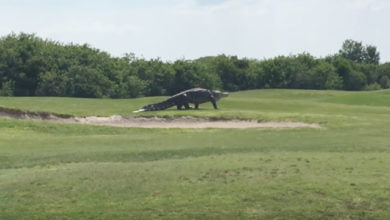 Photo of Amazing Giant Alligator Visits Florida Golf Course
