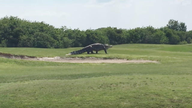 Giant Alligator In Florida