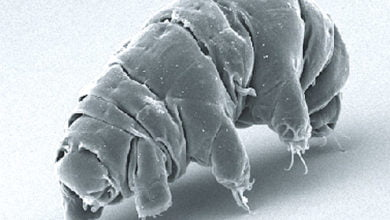 Photo of Did Dust-Riding Waterbears Bring Life to Earth?