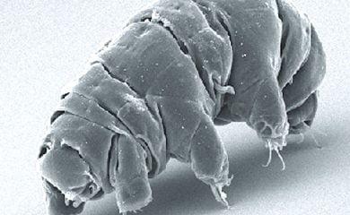 A tardigrade