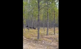 Video: Monstrous Wolf Chases Dog In Northern Saskatchewan