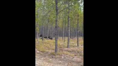 Photo of Monstrous Wolf Chases Dog In Northern Saskatchewan