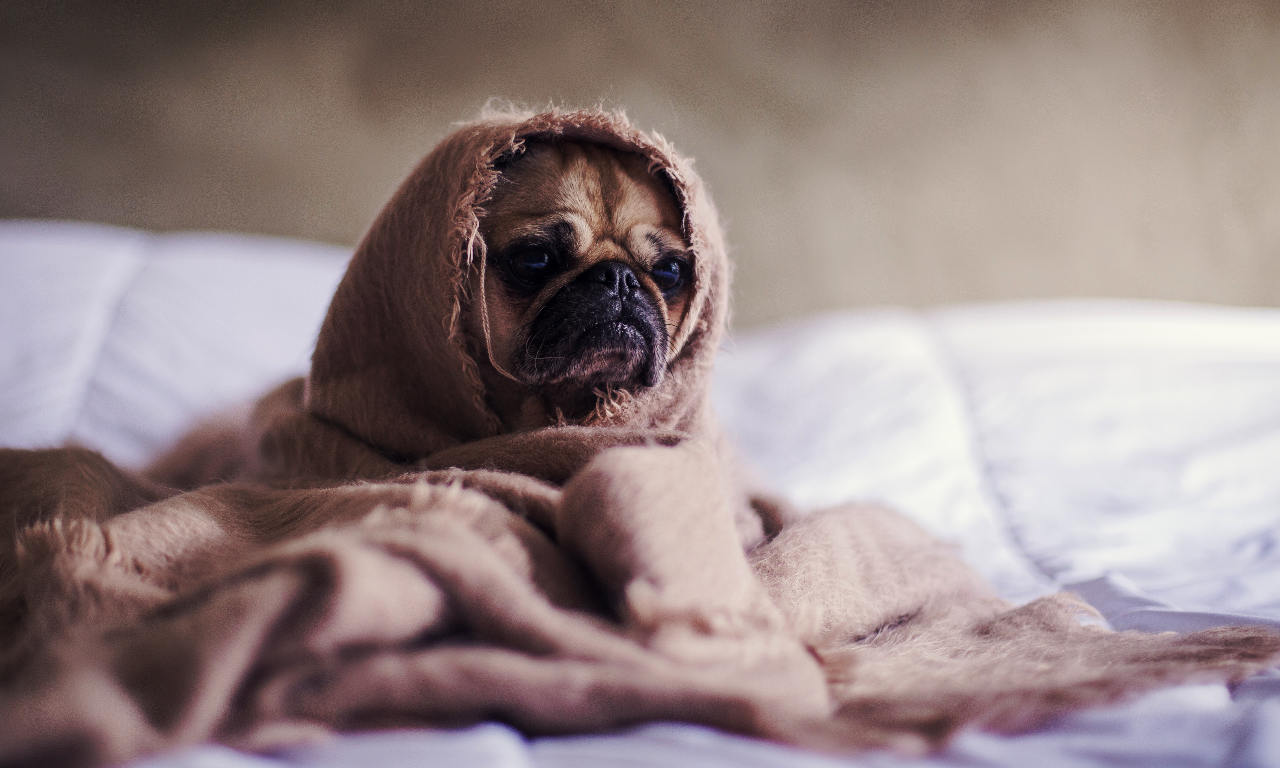 A scared pig wrapped up in blankets