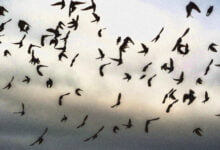 Photo of Starlings Over Lough Ennell Take Shape of Giant Bird