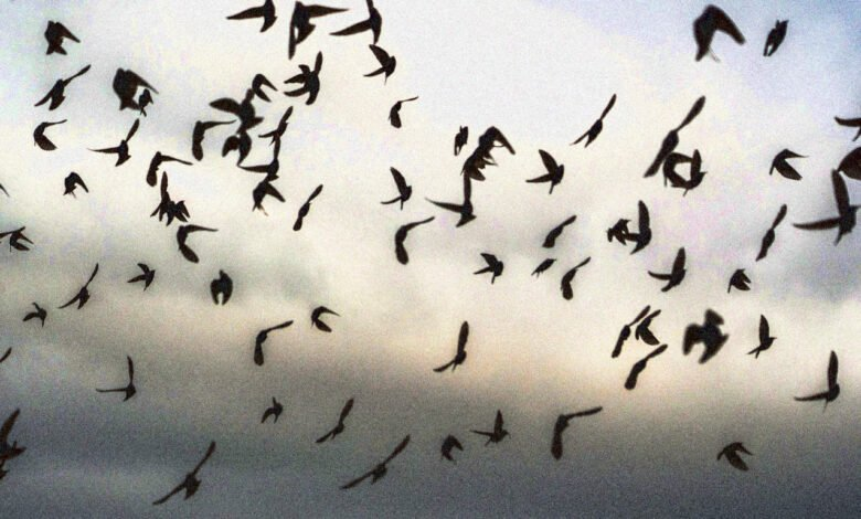 A starling murmuration over the UK